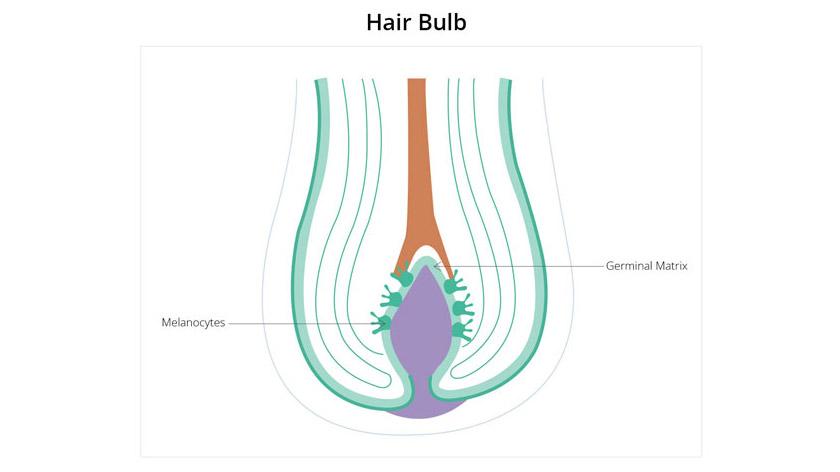 Hair Bulb